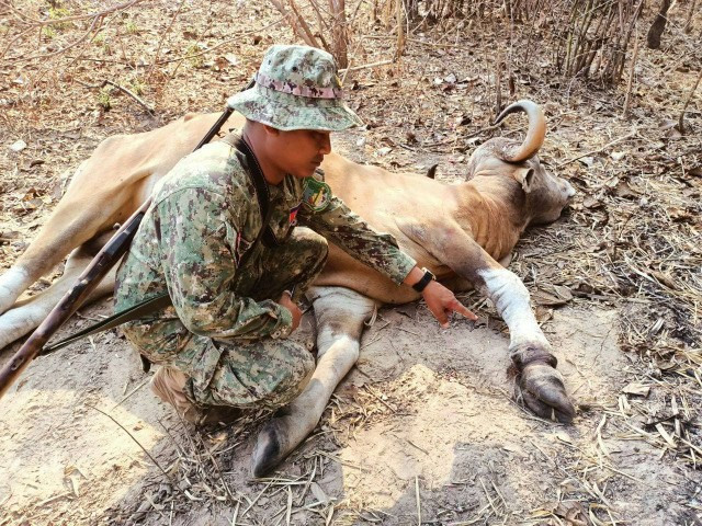 One More Rare Banteng Is Killed in a Hunter's Trap in Cambodia